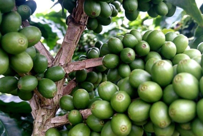 zelené kávové čerešne