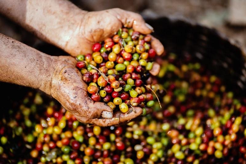 ručne zbierané kávové čerešne