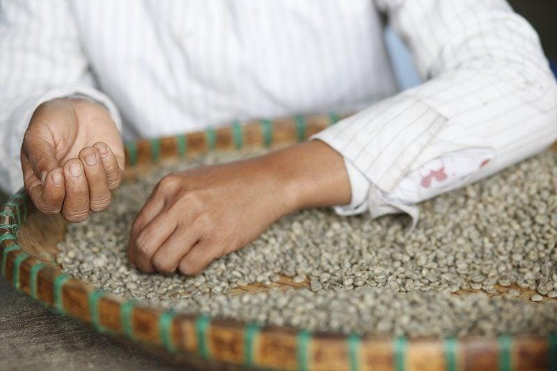 ručne triedenie zelenej kávy pracovníkom plantáže