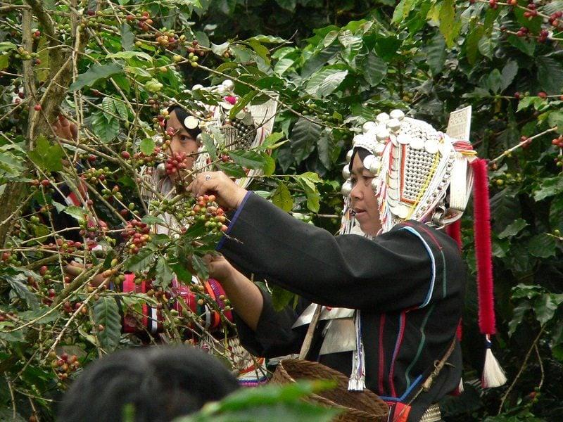 zber kávových čerešní