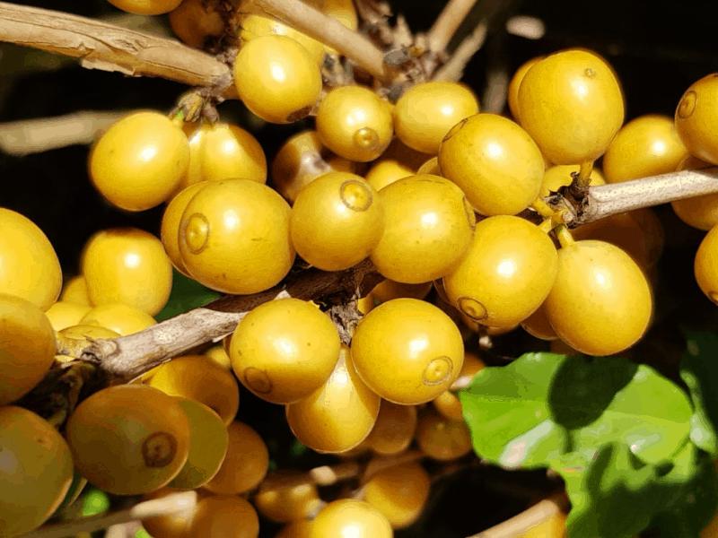 kávové čerešne odrody Yellow Catuai