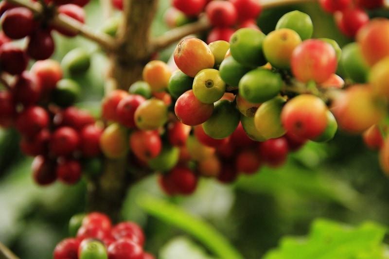 detailný záber na zrejúce čerešne kávovníka