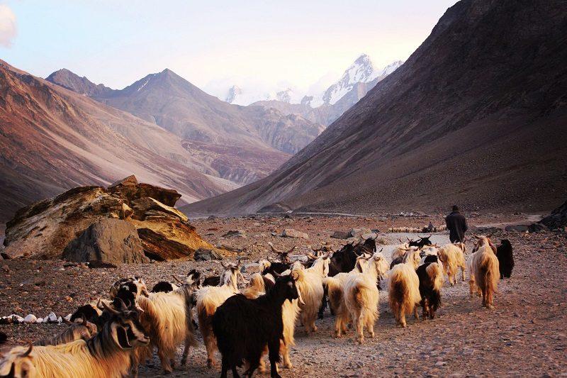 putujúci pastier s čriedou kôz