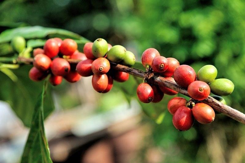 zrelé čerešne kávovníka