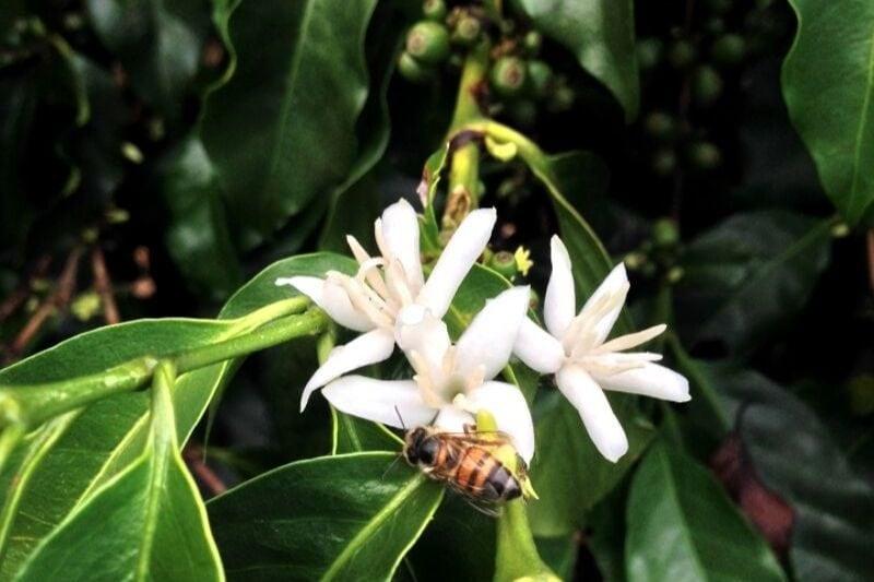 včela opeľuje kvety kávovníka