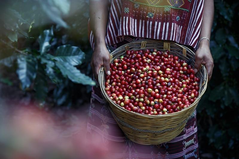 košík plný kávových čerešní