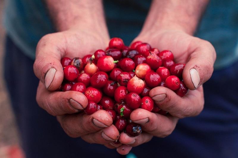 ruky držiace zrelé kávové čerešne