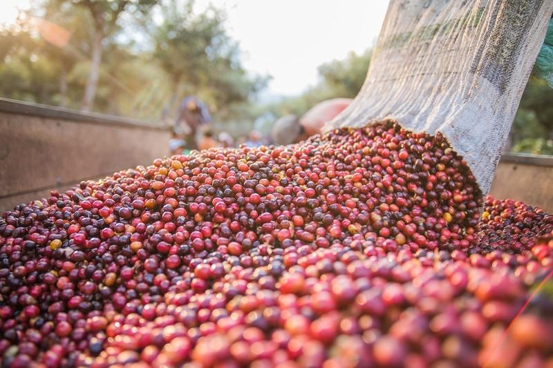 zrelé kávové čerešne v zbernej nádobe