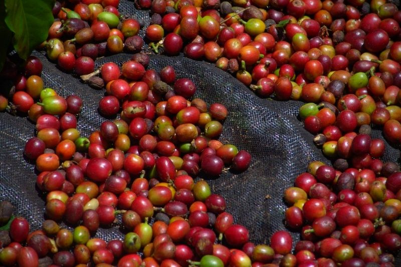 zozbierané kávové čerešne