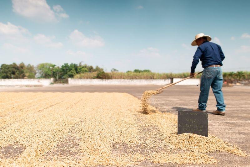farmár suší kávové zrná na slnku