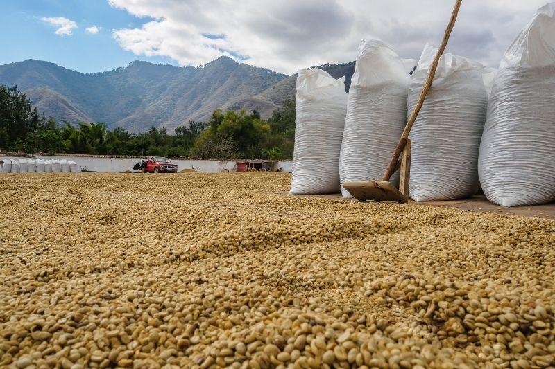 spracovaná zelená káva sa balí do vriec