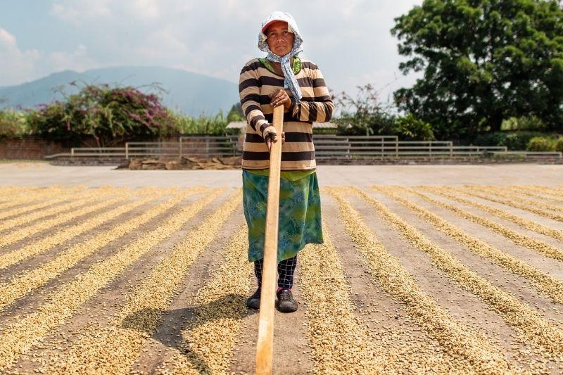sušenie kávovníkových zŕn na slnku