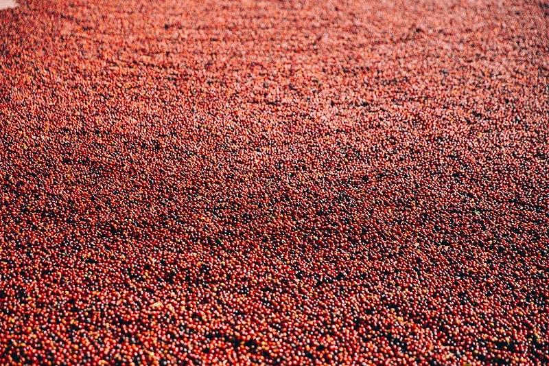 červené kávovníkové čerešne