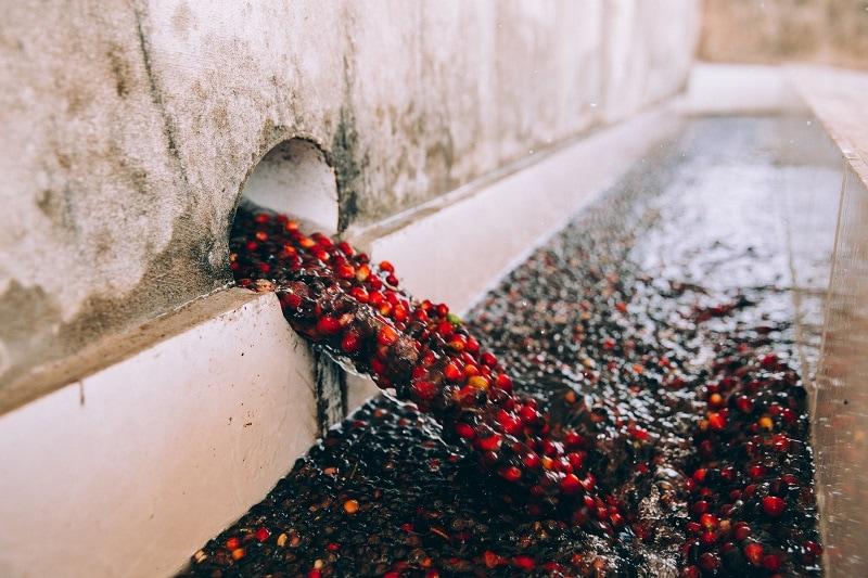 premývanie čerešní kávovníka