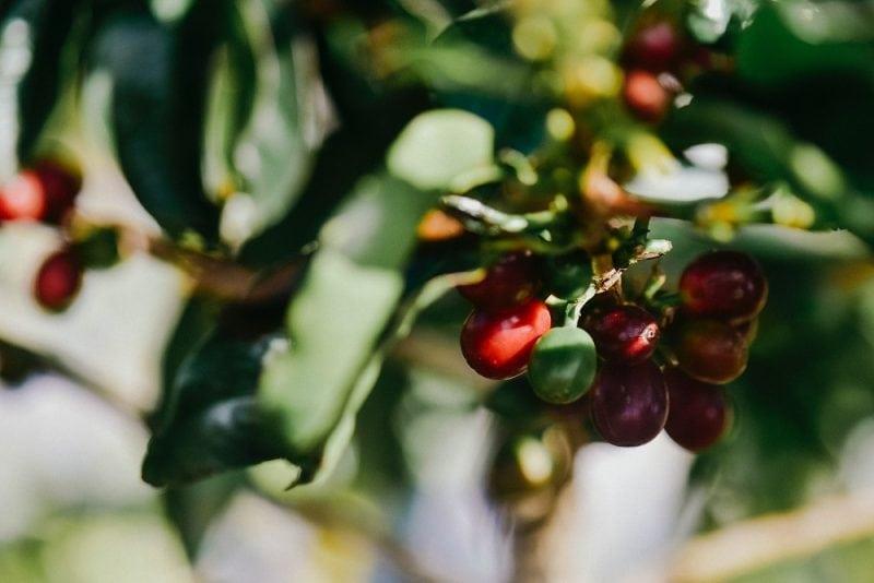 kávovníkové čerešne zaliate slnkom